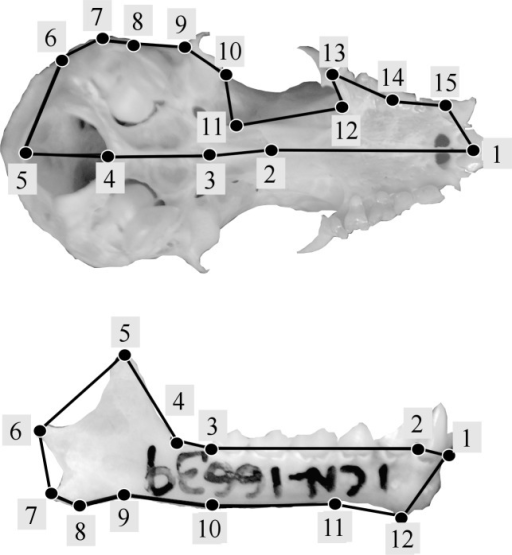 Landmark configurations used in this study for the analysis of shape variation of skull (A) and jaw (B).