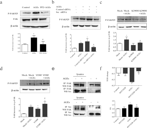 AGE-induced FAK activation requires Src.(a) Pretreatment of PP2 prevented AGE-induced FAK phosphorylation. ECs were pretreated with PP2 (15 μmol/L) for 90 min before exposed to 100 μg/mL AGEs for 1 h. (b) Pretreatment of Src siRNA prevented AGE-induced FAK phosphorylation. ECs were pretreated with Src siRNA or control siRNA for 48 h before exposed to 100 μg/mL AGEs for 1 h. (c,d) Effects of K298M and Y530F on AGE-induced FAK phosphorylation. ECs were pretreated with K298M and Y530F for 48 h before exposed to 100 μg/mL AGEs for 1 h. FAK and its phosphorylation form were detected by western blotting. (e) AGE induced Src/FAK association in HUVECs. HUVECs were treated with 100 μg/mL AGEs for 1 h and lysed, and co-immunoprecipitation (co-IP) for FAK was performed. Increased expression of Src was detected by western blotting (upper panel). HUVECs were treated with 100 μg/mL AGEs for 1 h and co-IP for Src was performed. Increased expression of FAK was detected by western blotting (lower panel). (f) PF573228 prevented AGE-induced hyper-permeability of endothelial cells. HUVECs were treated with PF573228 (20 μmol/L) for 60 min before exposed to 100 μg/mL AGEs for 8 h. Culture medium was used as control. Permeability coefficient of the transflux of trace FITC-dextran (Pd) and TER were measured. The ratio of immunointensity between the phosphorylation of FAK (p-FAK 925) and β-actin were calculated. n = 3, *P < 0.05 versus control, #P < 0.05 versus AGEs group or Mock + AGEs.