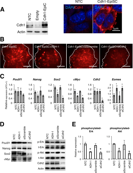 Overexpression of Cdh1 does not restore the function of Cdh2 in mEpiSCs.(A) The mEpiSC-line was transfected with an overexpression plasmid cording for mouse Cdh1 cDNA. Cdh1-expressing mEpiSCs (Cdh1-EpiSC) highly expressed the Cdh1 protein. NTC indicates control mEpiSCs and Empty indicates empty plasmid-transfected mEpiSCs. The right panel shows the localization of Cdh1. The scale bar is 5 μm. (B) SSEA-1 expression in Cdh1-EpiSCs after treatment with ADH-1 (Cdh1-EpiSC+ADH-1), control siRNA (Cdh1-EpiSC+siScramble) or Cdh2 siRNA (Cdh1-EpiSC+siCdh2). The white dotted lines demarcate the colony regions. Scale bars are 100 μm. (C) qRT-PCR for the pluripotency-related genes Pou5f1, Nanog, Sox2 and cMyc, the differentiation marker Eomes and Cdh2 in the non-treated Cdh1-EpiSCs (non-treated control: NTC), ADH-1-treated Cdh1-EpiSCs, control siRNA-treated Cdh1-EpiSCs (siScramble) and Cdh2 siRNA-treated Cdh1-EpiSCs (siCdh2). Data are normalized to the expression level of Lamina. Bars represent the mean normalized values of triplicates. Asterisks indicate significant differences with P < 0.05. (D) WB analysis for Pou5f1, Nanog, Sox2, cMyc, phosphorylated-Erk (p-Erk), total-Erk (t-Erk), phosphorylated-Akt (p-Akt), total-Akt (t-Akt), Cdh2 and Actin in non-treated Cdh1-EpiSCs (non-treated control: NTC), ADH-1-treated Cdh1-EpiSCs, control siRNA-treated Cdh1-EpiSCs (siScramble) and Cdh2 siRNA-treated Cdh1-EpiSCs (siCdh2). (E) Densitometry quantification of WBs for phosphorylated-Erk and phosphorylated-Akt. Data are normalized to the expression total-Erk and total-Akt. Bars represent the mean normalized values of triplicates. Asterisks indicate significant differences with P < 0.05.