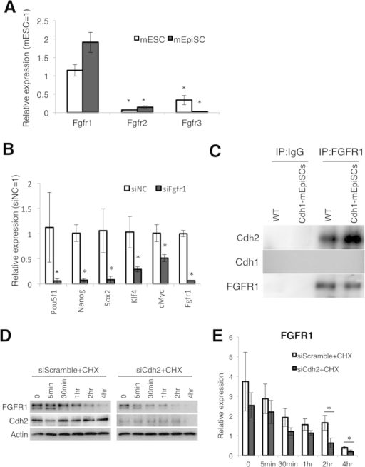 Cdh2 stabilizes FGFR1.(A) qRT-PCR for the FGFR family genes Fgfr1, Fgfr2 and Fgfr3 in mESCs and mEpiSCs. Bars represent the mean normalized values of triplicates. Asterisks indicate significant differences with P < 0.05. (B) qRT-PCR for pluripotency-related genes in the negative control siRNA-treated mEpiSCs (siNC) and the Fgfr1 siRNA-treated mEpiSCs (siFgfr1). Bars represent the mean normalized values of triplicates. Asterisks indicate significant differences with P < 0.05. (C) Co-immunoprecipitation (Co-IP) assay showing interaction between FGFR1 and Cdh1 in Cdh1-mEpiSCs and FGFR1 and Cdh2 in the wild-type mEpiSCs (WT). (D) WBs for FGFR1, Cdh2 and Actin in siRNA- and cycloheximide (CHX)-treated mEpiSCs 0, 5 min, 30 min, 1 hr, 2 hr and 4 hr after FGF2 stimulation. (E) Densitometry quantification of WBs for FGFR1, Cdh2 and Actin. Data are normalized to the expression of Actin. Bars represent the mean normalized values of triplicates. Asterisks indicate significant differences with P < 0.05.