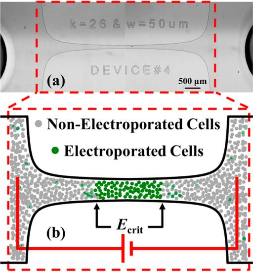 Microfluidic device to determine the critical electric field required for bacterial electroporation.(a) Two adjacent microphotographs showing the entire bilaterally converging channel (red-dashed outline) that amplifies the electric field to levels necessary to induce bacterial electroporation. (b) Schematic representation of the magnified constriction region illustrates the increase in green fluorescence due to SYTOX® dye uptake after electroporation with electric fields E ≥ Ecrit. (panel (b) not drawn to scale).
