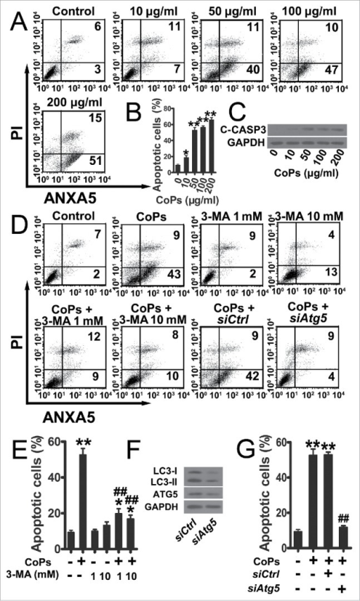 Autophagy mediated the increase in osteoblast apoptosis induced by CoPs. (A) Flow cytometry analysis of ANXA5 and propidium iodide staining of osteoblast cells cultured with various concentrations (0, 10, 50, 100, 200 µg/ml) of CoPs for 24 h. (B) Quantification analysis of apoptotic cells in (A) (both upper- and lower-right quadrants in representative dot plots as shown). Data are represented as means ± S.D. from 3 independent experiments. *, P < 0.05 and **, P < 0.01 vs. the control. (C) Western blots performed after osteoblast cells were cultured with various concentrations (0, 10, 50, 100, 200 µg/ml) of CoPs for 24 h. (D) Flow cytometry analysis of ANXA5 and propidium iodide staining of osteoblast cells cultured with various concentrations (0, 1, 10 mM) of 3-MA, siCtrl and siAtg5 prior to being treated with 50 µg/ml of CoPs for 24 h. (E, G) Quantification analysis of apoptotic cells in (D) (both upper- and lower-right quadrants in representative dot plots as shown). Data are presented as means ± S.D. from 3 independent experiments. *, P < 0.05 and **, P < 0.01 vs. control; ##, P < 0.01 vs. CoPs group. (F) Western blots performed after osteoblast cells were cultured in siCtrl or siAtg5 prior to treatment with CoPs (50 µg/ml) for 24 h. c-CASP3, cleaved CASP3; siCtrl, siControl.