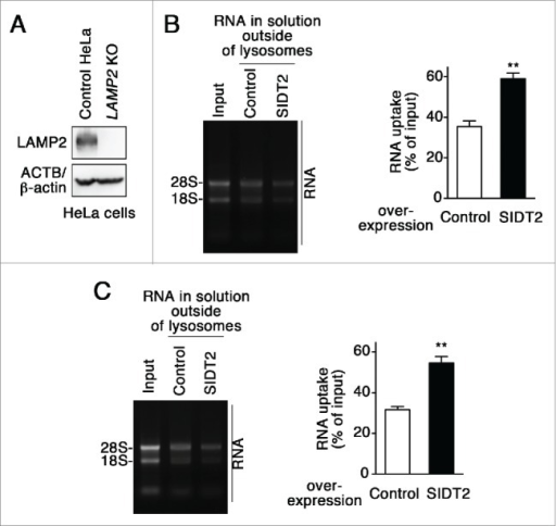 Effect of SIDT2 overexpression on RNautophagy in the absence of LAMP2. (A) LAMP2 levels in LAMP2-deficient HeLa cells and parental HeLa cells (control HeLa) were analyzed by immunoblotting. (B and C) RNA uptake assays were performed using isolated lysosomes derived from LAMP2-deficient HeLa cells (B) or parental HeLa cells (C). Relative levels of RNA uptake were quantified. Results are expressed as mean ± SEM (n = 3). **, P < 0.01. In the absence of LAMP2, SIDT2 increased RNautophagy at similar levels to in the presence of LAMP2.