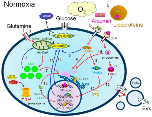 Schematic of the possible metabolic routes associated with lipid droplet (LD) synthesis in cancer cells exposed to normoxic conditions. Under normoxia, cancer cells are expected to have easy access to serum components. Such factors (O2, glucose, glutamine, and lipids) are designated by a larger font size compared with that of lactate. Major metabolic energy sources (glycolysis and β-oxidation) are depicted with star bursts. Metabolic routes (1–16) possibly associated with LD synthesis and β-oxidation are designated with red and blue arrows, respectively. Other routes are shown in black arrows. The abbreviations used are as follows: LDs = lipid droplets; ER = endoplasmic reticulum; HIFs = hypoxia inducible factors; ARNT = arylhydrocarbon receptor nuclear translocator; Ac-CoA = acetyl coenzyme A; LCFAs = long chain fatty acids; FABPs = fatty acid binding proteins; PPARs = peroxisome proliferator-activated receptors; LXRs = liver X receptors; SREBPs = sterol regulatory element binding proteins; RXR = retinoid X receptor; FASN = fatty acid synthase; SCD-1 = stearoyl CoA desaturase-1; LDL-R = low-density lipoprotein receptor; EVs = extracellular vesicles. The symbols used are as follows: : LCFAs, : cholesterol, : transporter, : receptor.