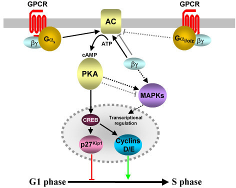 Modulation of intracellular cAMP levels by GPCR-coupled ...