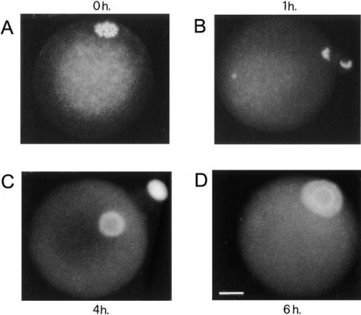 Time-course of the cell cycle events  induced by microinjection of recombinant tr-kit  into MII-arrested mouse oocytes. This pattern  was constantly observed in the tr-kit–activated  oocytes. Eggs were fixed and stained with  Hoechst (10 μg/ml) either before microinjection  (A), or after increasing times from microinjection  of extracts from COS cells expressing tr-kit (200  μg/ml), 1 h (B), 4 h (C), and 6 h (D). Bar, 30 μm.