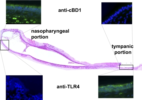 Relative spatial distribution of expression of an innate immune effector (cBD-1) versus that of TLR-4 by the mucosa that lines the mammalian Eustachian tube. H&E stain of a longitudinal section of a chinchilla Eustachian tube with inset images of the proximal (nasopharyngeal) and distal (tympanic) portions, demonstrating the relative distribution of expression of cBD-1 and TLR-4 in this anatomical niche. Labeling of cBD-1 (green color in the upper row of inset images) is greater near the colonized nasopharyngeal orifice of the Eustachian tube than at the portion closest to the middle ear, which is generally considered to be a sterile site. Conversely, labeling of TLR-4 (green color in the lower row of inset images) is greater at the distal versus the proximal portion of the Eustachian tube.