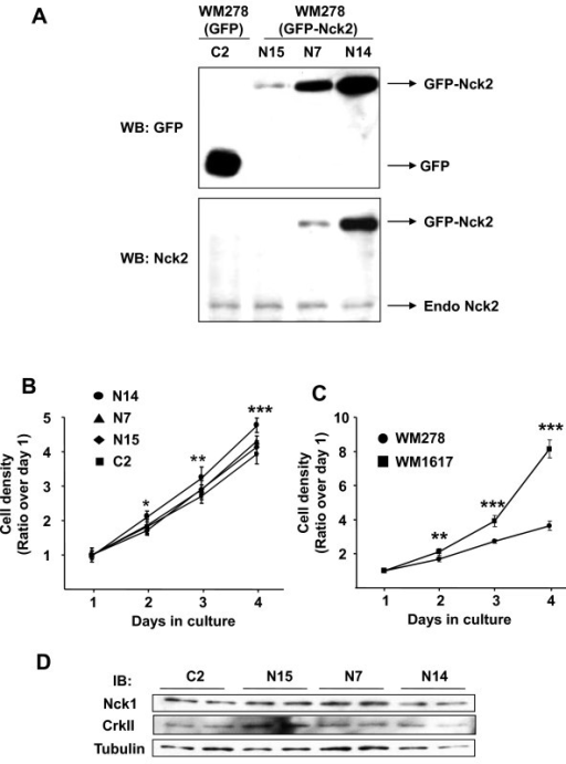 Effect of Nck2 on human primary melanoma cell proliferation. (A) Total cell lysates from stable WM278 human primary melanoma cells overexpressing GFP (C2) or increasing levels of GFP-Nck2 (N15 < N7 < N14) were subjected to western blot analysis using GFP or Nck2 specific antibodies. Cell proliferation of (B) WM278 cells stably overexpressing GFP (C2) or GFP-Nck2 (N15, N7 and N14), as well as (C) parental primary (WM278) and metastatic (WM1617) melanoma cells was determined by quantification of Crystal Violet incorporation each day during 4 days in culture. Results are shown as the ratio of the mean of cell density over day 1 ± SD (n = 4). * p < 0.02, ** p < 0.006 and ***p ≤ 0.0001compared with C2 (B) or parental WM278 cells (C) using Student's t-test. (D) Nck1 and CrkII expression was evaluated using total cell lysates (30 μg protein) prepared from WM278 cells stably overexpressing GFP (C2) or GFP-Nck2 (N15, N7, and N14). β-tubulin was used as loading control.