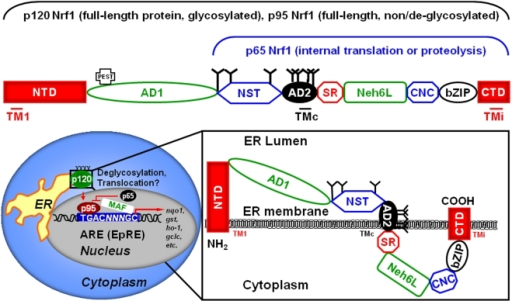 The structural domains of Nrf1, its function and predic | Open-i
