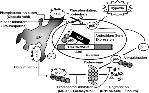 The proposed working model for the Nrf1 regulation by t | Open-i