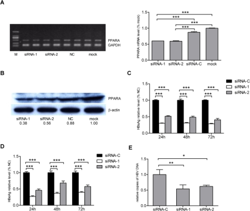 Silencing of PPARA by siRNA represses HBV replication in HepG2 cells.The levels of PPARA mRNA and protein in HepG2 cells 48 h post transfection with PPARA specific siRNA were analyzed, respectively, by (A) semi-quantitative RT-PCR or (B) Western blot. GAPDH and β-actin were used as internal controls, respectively. The ratio of the band intensities were determined as described above (Lane M, molecular weight standards). The levels of (C) HBsAg and (D) HBeAg were determined 24, 48 and 72 h post transfection. (E) HBV DNA concentrations were determined 72 h post transfection. Relative levels were normalized as a percentage of the negative control siRNA-C.