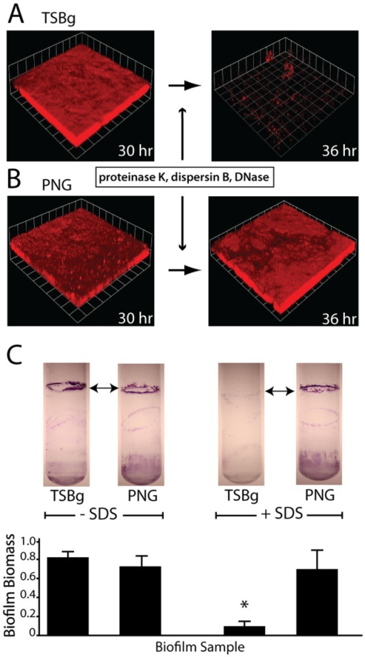 Growth media influences biofilm disassembly.Confocal micrographs of S. aureus SH1000 biofilms grown in TSBg media (A) for 30 hours readily disassemble upon exposure to biofilm matrix degrading enzymes proteinase K, dispersin B, and DNaseI at 0.2 µg/mL each. S. aureus biofilms grown in PNG media (B) for 30 hours fail to disassemble upon exposure to matrix-degrading enzymes. Images are representative of three separate experiments and each side of a grid square represents 20 µm. (C) Biofilms at the air-liquid interface of test tube cultures withstand 1% SDS exposure when grown in PNG media but disassemble when grown in TSBg. Top images show stained test tube biofilms; graph below is quantification of biofilm biomass. * P<0.002 compared to no SDS treatment.