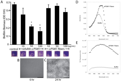 Amyloid fiber formation modulates PSM activity.(A) S. aureus wildtype biofilms were grown in microtiter plates for 24 hours then washed and exposed to increasing concentrations of soluble αPSM1 or αPSM1 fibers at concentrations of 10, 50 or 100 µg/mL for six hours. Biofilms were then washed, stained and remaining biofilm biomass was visualized (images of wells below graph) and quantitated (OD at A595). (B & C) TEM micrographs of αPSM1 samples used in the experiment demonstrate the absence (B) and presence (C) of fibers. * P<0.002 compared to control no αPSM1 treatment. We verified that αPSM1 fibers bind CR (D) and ThT (E) similar to amyloid fibers.