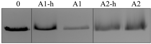 Electrophoretic mobility shift assay of Alba1 and Alba2 proteins binding to linear DNA (pUC19/EcoRI).The Alba proteins with the His-tag are marked as A1-h and A2-h and without the His-tag as A1 and A2. Lane 1: linear DNA (pUC19/EcoRI) in the absence of the Alba proteins. Lanes 2–5: DNA with and without the His-tagged Alba proteins, as indicated.