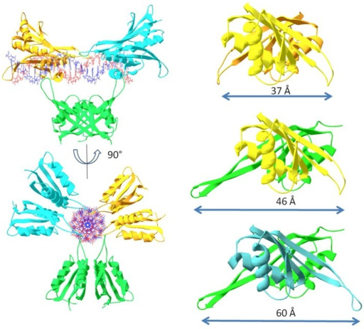Molecular modelling of the Alba protein dimers.Left: Distances between the β3–β4 hairpins on the Alba1/Alba1 homodimer (top), the Alba1/Alba2 heterodimer (middle), and the Alba2/Alba2 homodimer (bottom). Right: Alba2 dimers covering the DNA duplex with maximal binding density of one dimer per six base pairs.