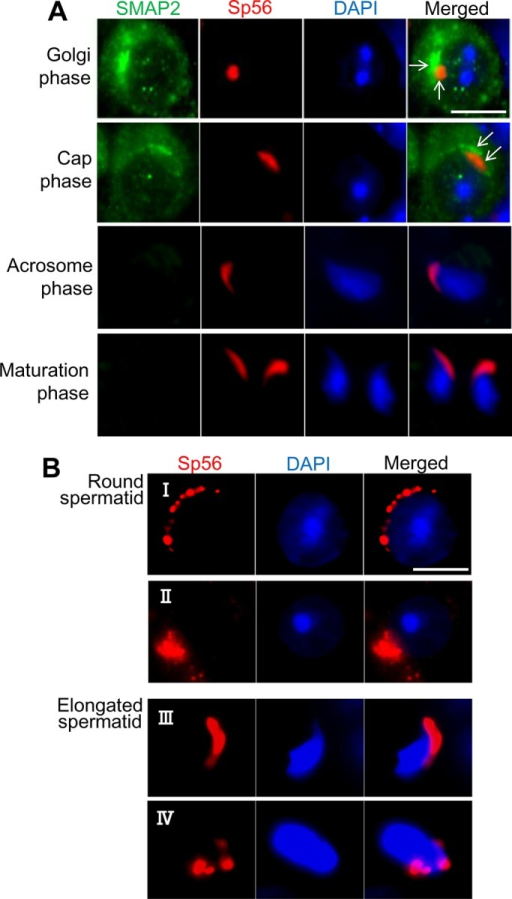 Acrosome formation and SMAP2. (A) Germ cells were prepared from wild-type testes as in Figure 3 and processed for immunofluorescence staining as indicated. Each row represents a stage of acrosome formation (Golgi, cap, acrosome, and maturation phases). The marker for the acrosomal components is sp56. (B) Germ cells were prepared from SMAP2(−/−) testes and processed for sp56 staining. See the text for details of observed abnormalities. Bars, 5 μm.