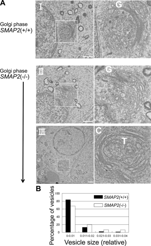 Electron microscopic observations of proacrosomal vesicle formation at the Golgi phase. (A) Germ cells from SMAP2(+/+) and (−/−) mice were processed for electron microscopic observations. C, cis-Golgi network; G, Golgi apparatus; T, trans-Golgi network. Bars, 1 μm. (B) Size distribution of proacrosomal vesicles observed in SMAP2(+/+) (closed bars) and (−/−) (open bars) germ cells at the Golgi phase. Using the images shown in A, we measured diameters for each proacrosomal vesicle. The areas of the vesicles were calculated using image-processing software and divided by the square of the magnification. The diameters are presented in relative units. Vesicle sizes are binned as indicated. See Supplemental Figure S3 for the detailed size distribution of vesicles.