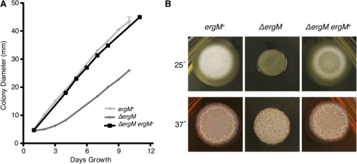 Growth rate defect of the ΔergM strain. (A) Radial growth rate (colony diameter) was measured every 24 hr for the control (ergM+), deletion (ΔergM), and complemented (ΔergM ergM+) strains at 25° on ANM medium. (B) Colony morphology after 4 d of growth on BHI medium at 25° and 37°.