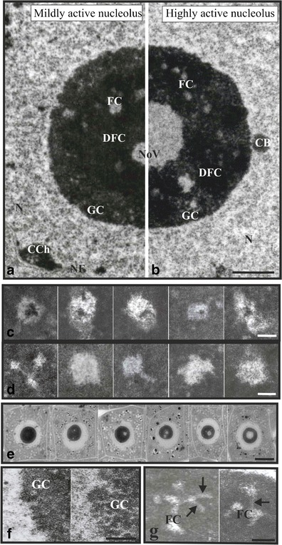 Typical plant nucleoli of tip root meristem cells and nucleolar components. Ultrastructure of nucleoli, representing four-component morphology, i.e., fibrillar centres (FC), dense fibrillar component (DFC), granular component (GC), and nucleolar vacuoles (NoV); conventional electron microscopy technique images (a, b). A nucleolus with mild transcriptional activity; it is characterized by lower number of FCs and small NoV (a). A nucleolus with high transcriptional activity with greater number of FCs and big, centrally located NoV (b). Scale bar, 2 μm. Examples of different size and shape FCs (c, d): heterogeneous FCs containing clumps of condensed chromatin (c). Scale bar is 0.5 μm. Homogenous FCs (d). Scale bar, 0.5 μm. Tip root meristematic cells with nucleoli in which NoV are formed, from small NoV in nucleoli with low transcriptional activity, through bigger and bigger vacuoles in nucleoli with higher and higher activity, up to one big, centrally located vacuole in nucleoli with high transcriptional activity; semi-thin sections (e). Scale bar, 10 μm. GC of a regular nucleolus (left) and loosened GC of a low transcriptionally active nucleolus of the chilled soybean seedling (right) (f). Scale bar, 0.5 μm. Examples of FCs connecting with each other by canals (arrows) running through dense fibrillar component (g). Scale bar, 1 μm. N nucleus, CCh condensed chromatin, CB coiled body, NE nuclear envelope
