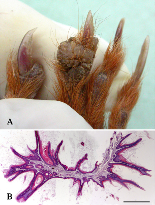 Cutaneous wart–like lesions. A: A proliferative wart-like lesion on a digit. Several similar lesions were present elsewhere on the same squirrel. B: Histological section of the lesion shown in Figure 3A showing keratinised papilliform proliferative projections of the epidermis. H & E stain, bar = 1 mm.