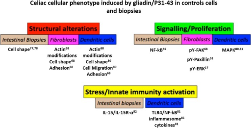 Celiac cellular phenotype induced by gliadin/P31–43 in control cells and biopsies. Schematic representation of the effects of gliadin peptide P31–43 on cells and biopsies from normal subjects. The main effects were grouped in three sets: structural alterations (actin modifications, cell shape, adhesion and cell migration), signaling/proliferation (NF-κB, pY-Fak, pY-paxillin, pY-ERK) and stress/innate immunity activation. In all cases, there was a quantitative increase in the markers cited, although in the case of actin, the alterations were qualitative. Numbers indicate the bibliographic references.
