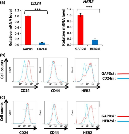 Knockdown of CD24 downregulates human epidermal growth factor receptor 2 (HER2) expression in BT-474 cells. (a) Quantitative RT-PCR analysis of CD24 and HER2 mRNA in cells transfected with CD24, HER2 or control (GAPD) siRNA, as indicated, for 48 h. Data are normalized by the amount of HPRT1 mRNA, expressed relative to the corresponding normalized value for cells transfected with GAPDsi, and are presented as means ± SD for triplicate experiments. ***P < 0.001 (Student's t test). (b) Flow cytometric analysis of CD24, CD44 and HER2 expression in cells transfected with CD24 or control siRNA. (c) Flow cytometric analysis of CD24, CD44 and HER2 expression in cells transfected with HER2 or control siRNA.