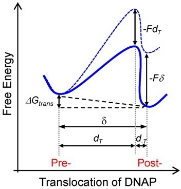 Effect of opposing load on the free energy landscape for translocation. According to the Brownian ratchet model (Model 3), in the absence of load the post-translocated state is favored by ΔGtrans ∼ −0.46 kBT (solid blue line). Opposing load tilts the energy landscape (dotted blue line) by an amount equal to the work performed against the applied load, −Fδ, where δ corresponds to the equilibrium distance between the pre- and post-translocated states (δ = 0.4 nm) and the transition state barrier is raised by an amount –FdT. Application of load opposing translocation shifts the equilibrium towards the pre-translocated state. dT is the characteristic distance from the pre-translocation position to the transition state and d−T is the distance from the transition state to the post-translocation state (Table 1).