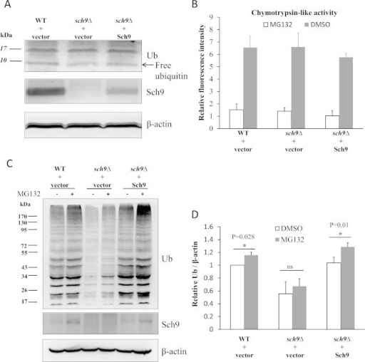"Sch9 does not regulate the level of ubiquitinated proteins by affecting ubiquitin expression or proteasomal activity. (A) Lysates of log phase yeasts (OD600 nm=0.5) were resolved on 15% SDS gels and proteins of interest were detected by Western blotting. (B) Chymotrypsin-like activity of the proteasome was monitored by Suc-Leu-Leu-Val-Tyr-AMC digestion using lysates with equal amounts of total protein from log phase yeasts at OD600nm of 0.5. The proteasome inhibitor MG132 (75 µM) was added to the isopyknic lysates as the blank control. (C) The log phase yeasts (OD600 nm=0.5) were treated with 75 µM MG132 for 1 h and the levels of ubiquitinated protein and Sch9 were tested by western blotting with actin as the loading control. (D) The quantifications of three repeats from panel C. (*represents P<0.05 and ""ns"" denotes no significance p>0.05 between the indicated comparisons.)."