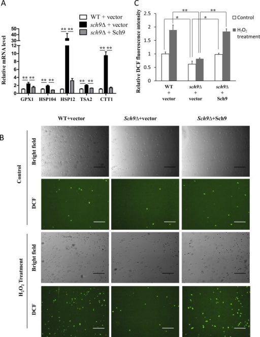 sch9Δ cells are resistant to ubiquitination due to decreased intracellular oxidation. (A) The mRNA levels of stress response genes (GPX1, HSP104, HSP12, TSA2 and CTT1) were tested by qPCR and normalized by the levels of actin (ACT1) mRNA in log phase cells (OD600 nm=0.5). (B) Microscopy of DCF fluorescence on WT cells (TB50a) transformed with empty vector (WT+vector), SCH9 deletion mutant cells (TS120-2d) transformed with empty vector (sch9Δ+vector) or pRS416−SCH9 (sch9Δ+Sch9) at log phase (OD600 nm=0.5) after treated with or without 0.5 mM H2O2 for 1 h. Bars: 100 µm. (C) Spectrofluorimeter analysis of DCF-stained cells (*P <0.05, **P<0.01).