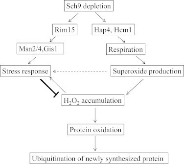 The Regulation of Protein ubiquitination through Sch9 signaling during growth. A speculative model of how reduced Sch9 signaling down-regulated ubiquitinated proteins by Rim15-dependent stress-resistance pathways (left arm) and adaptive mitochondrial ROS signaling (right arm). Elevated respiration in sch9∆ cells is mediated by upregulation of the transcription factors Hap4 or Hcm1 which gives rise to increased respiration and intracellular superoxide during growth [32,33]. Superoxide may serve as an adaptive signal to activate stress response genes (horizontal arrow). Therefore, although elevated cellular superoxide leads to accumulated H2O2, enhanced stress Resistance via Rim15 pathway and adaptive superoxide signal [30], on the other hand, diminishes H2O2 more effectively (bold arrow). Elimination of H2O2 in sch9∆ cells in turn reduces the oxidation of intracellular proteins including those of newly synthesized and their subsequent ubiquitination.