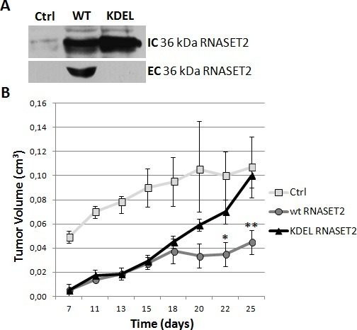 RNASET2 secretion is required for in vivo tumor suppressionHey3Met2 cells clones stably transfected with pcDNA3 vector (Ctrl), wild-type (WT) and KDEL-RNASET2-expressing vectors were inoculated in nude mice and tumor growth was evaluated every 2-3 days. A) Western blot analysis on cell extracts and cell culture supernatants from single clones, showing complete inhibition of secretion of KDEL-modified RNASET2 protein. IC: intracellular; EC: extracellular. B) In vivo tumor growth kinetics from three clones for each experimental group.