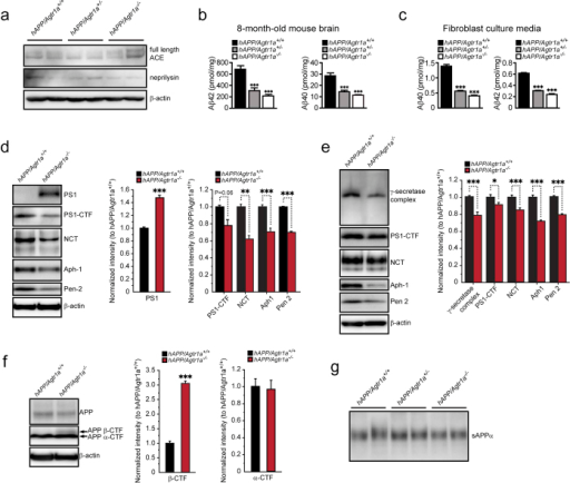 Aβ generation and γ-secretase components are decreased in Agtr1a deficient mouse brain and fibroblasts.(a) Effects of AT1a deficiency on ACE and neprilysin expression. (b) Determination of Aβ42 and Aβ40 levels in the brain cortex of 8-month-old hAPP/Agtr1a+/+, hAPP/Agtr1a+/− and hAPP/Agtr1a−/− mice by ELISA. n = 8 hAPP/Agtr1a+/+ mice, n = 9 hAPP/Agtr1a+/− mice and n = 4 hAPP/Agtr1a−/− mice. (c) Aβ40 and Aβ42 concentrations in the culture media of the primary cultured fibroblasts from hAPP/Agtr1a+/+, hAPP/Agtr1a+/− and hAPP/Agtr1a−/− mouse embryos. The Aβ40 and Aβ42 concentrations were normalized with the cellular protein amount. (d) Comparison of the γ-secretase components, PS1-CTF, NCT, Aph-1 and Pen-2, in the hAPP/Agtr1a+/+ and hAPP/Agtr1a−/− mouse brain lysate by immunoblot analysis (left panels). The relative levels of the γ-secretase components were determined by densitometry with normalization to β-actin (right panels). (e) Comparison of the γ-secretase components in the cell lysate of hAPP/Agtr1a+/+ and hAPP/Agtr1a−/− cells by immunoblot. (f) Amount of total cellular APP, β-CTF and α-CTF of APP (arrows) were determined by immunoblot analysis of APP. (g) sAPPα in the culture media of hAPP/Agtr1a+/+, hAPP/Agtr1a+/− and hAPP/Agtr1a−/− cells. Error bars show means ± s.e.m., n = 3–6 independent experiments. *P < 0.05, **P < 0.01, ***P < 0.001 by one-way ANOVA followed by post hoc Bonferroni test comparing with hAPP/Agtr1a+/+ mouse. Cropped immunoblots are presented and all samples were compared under the same experimental conditions. The whole panels of the immunoblots are displayed in Supplemental Fig. 4 for full length PS1 and PS1-CTF in the 14-month-old mouse brain (Supplemental Fig. 4a), and for γ-secretase complex in the cell lysate of hAPP/Agtr1a+/+ and hAPP/Agtr1a−/− cells (Supplemental Fig. 4b).