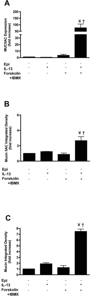 cAMP potentiates mucin production in response to IL-13 in NHBE cells.Cells were grown in the absence of epinephrine, then at ALI, they were incubated with or without 20 ng/ml IL-13 with or without 10 μM forskolin and 100 μM IBMX for 14 days. A: MUC5AC transcripts were measured by qRT-PCR, and the data presented as fold change compared to cells grown in the absence of IL-13, IBMX and forskolin (control cells) B: Quantification of intracellular mucin 5AC content. The ratio of mucin 5AC integrated density of each group to the integrated density of the cells grown in the presence of epinephrine alone (control cells) was calculated and expressed as fold change. See the supplement for the representative images (S7A Fig). C: Quantification of intracellular mucin glycoproteins. The ratio of mucin integrated density and nucleic acid/cytoplasm integrated density was calculated and the data presented as fold change compared to control cells. See the supplement for the representative images (S7B Fig). Data are presented as means ± SEM from three donors. † and ¥ indicate p<0.05 significance as compared to−epinephrine and −epinephrine + IL-13 treated cells respectively.