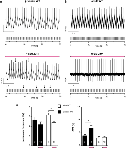 Age-dependent T type Ca2+ channel modulation of pacemaker activity in SN DA neurons.(a/b) Exemplary perforated patch-clamp or cell-attached recordings of spontaneous activity of SN DA neurons from juvenile (a) and adult (b) WT mice without and with T-type channel inhibitor Z941 (pre-)incubation (10 μM, indicated by purple bars). Under each original 10 second trace, a 30 seconds schematic spike train representation is given. Arrows point to irregularity in pacemaker-activity in SN DA neurons from juvenile WT mice in Z941. (c) Data analysis as in Fig. 2 (d) Left: Mean SN DA pacemaker frequencies. Note that Z941 significantly reduced SN DA pacemaker frequency of adult WT SN DA but not of juvenile WT SN DA neuron. Right: Mean SN DA pacemaker precision, given as CV2 values. Note that Z941 significantly reduced pacemaker precision of juvenile WT SN DA but not adult WT SN DA neurons. All data are shown as mean ± SEM. Significant differences are marked by asterisks. Data values are detailed in Table 1.