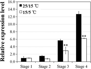 Expression pattern of RhAG in response to low temperatures during flower development. Expression of RhAG was monitored by quantitative RT-PCR. Two-year-old rose plants were cultivated at 25/15 °C (black column) or 15/5 °C (white column). Flowers were collected at stage 1 to stage 4. RhTCTP was used as an internal control for all the tested genes. The expression level of RhAG at stage 1 grown at 25/15 °C was defined as 1.0. Values are means ± SD (n = 3). Asterisks indicate significant differences calculated using the t test (**p < 0.01; *p < 0.05)