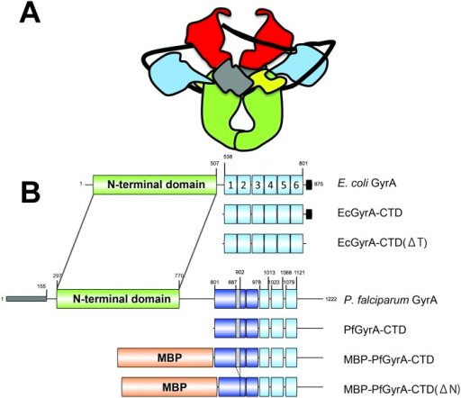 DNA gyrase structure.A Schematic of DNA gyrase bound to DNA prior to ATP binding. DNA is shown in black. The N-terminus of GyrB is shown in red and the C-terminus in grey and yellow. The N and C-termini of GyrA are shown in green and blue respectively. B Schematic of domains in gyrase proteins and constructs used in the present study. β-pinwheel blades are numbered for E. coli GyrA. Colouring scheme is as follows; N-terminal domain, green; MBP, orange; β-pinwheel motifs identified by the Pfam server [5], light-blue; putative β-pinwheel motifs, dark-blue; signal/transit peptide, grey; acidic C-terminal tail, black. Segments with diagonal fill indicate the Asn-rich region (residues 887–902). Numbers refer to amino acid positions (see text).