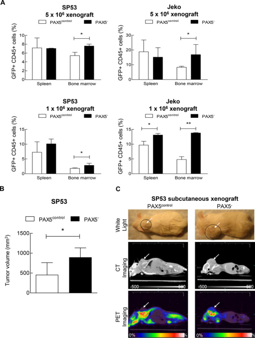 Increased tumor cell engraftment in PAX5− MCL xenografted mice(A) PAX5− MCL cells or control cells were I.V. injected into NOD/SCID mice (n=22) at two different dosages (1×106 or 5×106 cells). After 8 weeks, the xenografted mice were sacrificed. Bone marrow (femurs and tibias) and the spleen were collected and stained for human leukocyte cells using an anti-CD45 antibody. The samples were then analyzed for GFP+ and CD45+ cells using FACS. (B) PAX5− MCL cells (3 × 106) or control cells were subcutaneously injected into NOD/SCID mice (n=9), and the tumor volumes were measured using a digital caliper after 4 weeks. (C) CT and PET imaging revealed that PAX5− MCL cells formed larger subcutaneous tumors in vivo. 18F-FDG was injected into mice 2.5 hours prior to PET and CT imaging. Representative animals for each experimental arm are displayed in white light (Top), on CT (Middle) and on PET (Bottom). The white arrows indicate a subcutaneous tumor; the dotted circles represent the area of the subcutaneous tumor. CT imaging scale bar: Hounsfield scale; PET imaging scale bar: %ID/g. (D)18F-FDG counts of common MCL dissemination organ sites from SP53 PAX5− or control subcutaneous xenografts. The %ID/g of each target organ was normalized to that of muscle tissue. The dotted line represents the percentage of 18F-FDG uptake relative to muscle (muscle = 100%). Sub-cu = subcutaneous; LN = lymph node. (E) PAX5− MCL cells were stained for PKH26 and subsequently seeded on a pre-established monolayer of HS5 bone marrow stromal cells. The arrows indicate PKH26+ cells. Scale bar, 200 µm. Lower panel: The adhesion of lymphoma cells was calculated by measuring the PKH26 dye intensity relative to the fluorescence of the inputs. Each value represents the mean ± S.D. (n=6).*p < 0.05 (vs. PAX5control; Student's t-test); **p < 0.005 (vs. PAX5control; Student's t-test).