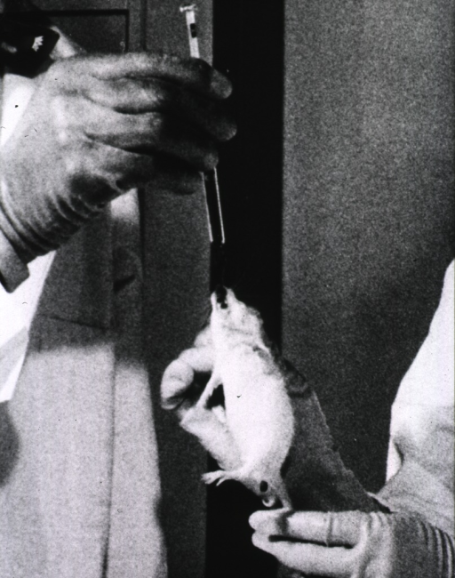 <p>A laboratory rat is being given a drug compound to test the reaction of the compound on tumors.</p>