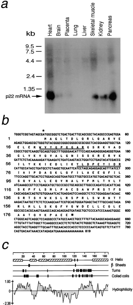 Molecular characterization of p22. (a) Northern blot  analysis of rat tissues. A 640-bp EcoRI/ApaI fragment of EST  clone 121348 was used to probe a multiple tissue Northern blot  (CLONTECH Laboratories). The position of the p22 mRNA  transcript, which corresponds approximately to 1 kb, is shown.  Note the higher levels of mRNA present in heart and pancreas  compared with the levels in the brain. (b)A human cDNA encoding p22 was fully sequenced from both directions. The resulting DNA and the predicted amino acid sequences are shown.  This clone has a complete open reading frame, the asterisk shows  the predicted translational start, and the filled square marks the  stop codon. The two underlined segments correspond to the two  nine-residue peptides that were microsequenced from the band  corresponding to the 22-kD polypeptide isolated from affinity-purified dynactin. Numbers to the right reflect the positions of  nucleotides, while the numbers to the left refer to the corresponding amino acid residues. (c) The predicted amino acid sequence was analyzed for secondary structure using the DNASTAR™ sequence analysis package. The analysis reveals that  p22 is primarily an α-helical protein with very little predicted  coiled coil. Most of the predicted turns of the protein occur between amino acid 120 and 155. The hydrophilicity plot predicts  that p22 is mostly hydrophilic except for a central 45–amino acid  residue stretch. These sequence data are available from GenBank/EMBL/DDBJ under accession number AF082513.