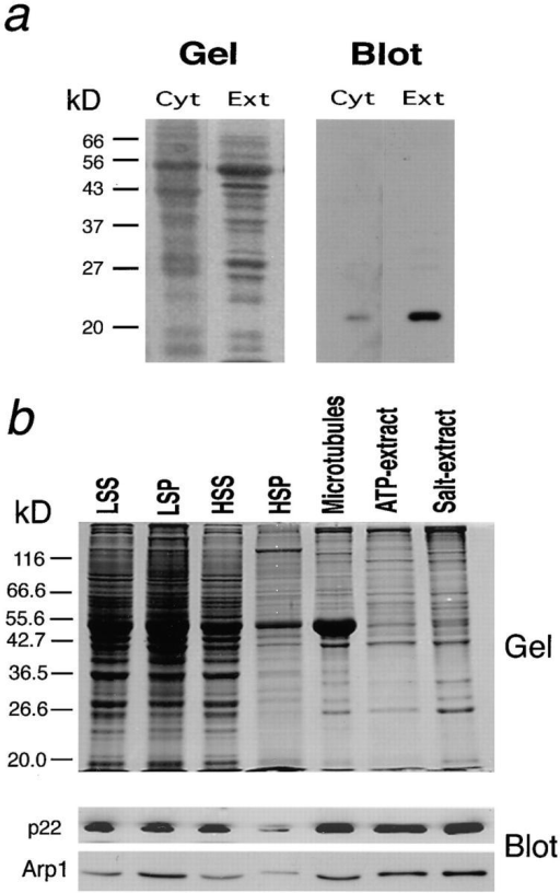 (a) Specificity of  the anti-p22 antibody. Rabbit  polyclonal antibodies raised  against human p22 were affinity purified with additional  steps to ensure specificity (see  Materials and Methods for details). The antibodies were  then tested for specificity using total cytosol (Cyt, 5 μl of  1:1 brain cytosol) or salt-extract  of microtubules from rat brain  (Ext, 20 μl of a 2 ml extract  from 10 rat brains). The Western blot on the right panel  shows that the p22 antibody  recognizes only one band corresponding to ∼22 kD. (b) p22 is enriched in ATP- and salt-extracts of brain microtubules. Rat brain cytosol was prepared by a low-speed centrifugation (LSS  and LSP, 4 μl each) followed by a high-speed centrifugation (HSS, 4 μl and HSP,  10 μl). Both the HSP and the LSP were resuspended to the original volumes. The  tubulin was polymerized from the cytosol by addition of taxol (Microtubules), and  the microtubules were subsequently extracted with Mg-ATP (ATP-extract, 1.7 ml)  or with NaCl (Salt-extract, 1.7 ml). Equivalent amounts of total microtubules (resuspended to the starting volume before centrifugation), ATP-extract, or salt-extract were loaded (corresponding to 10 μl of ATP-extract). The samples were  resolved by 10% SDS-PAGE and Coomassie blue stained (upper panel) or transferred onto Immobilon-P and probed with rabbit polyclonal anti-p22 as well as  anti-Arp1 antibodies (lower panels). Note that p22, like other dynactin subunits, is  associated with microtubules in an ATP- and salt-sensitive manner. (c) p22 exists  as a part of the 20-S dynactin complex. A total of 800 μl rat brain cytosol (prepared at 1:1, wt/vol) was layered on top of a 5–20% linear  sucrose density gradient and centrifuged for 18 h at 32K rpm at 4°C using a Beckman SW41.Ti rotor. 1-ml fractions were collected from  the bottom, and 12 μl of each fraction was analyzed by SDS-PAGE and Western blot using antibodies to p22, p50 (dynamitin), and  Arp1 (centractin). The p22 peak corresponds to Arp1 and p50 peak, indicating that p22 exists exclusively as a component of the 20-S dynactin complex. LSS, low-speed supernatant; LSP, low-speed pellet; HSS, high-speed supernatant; HSP, high-speed pellet.