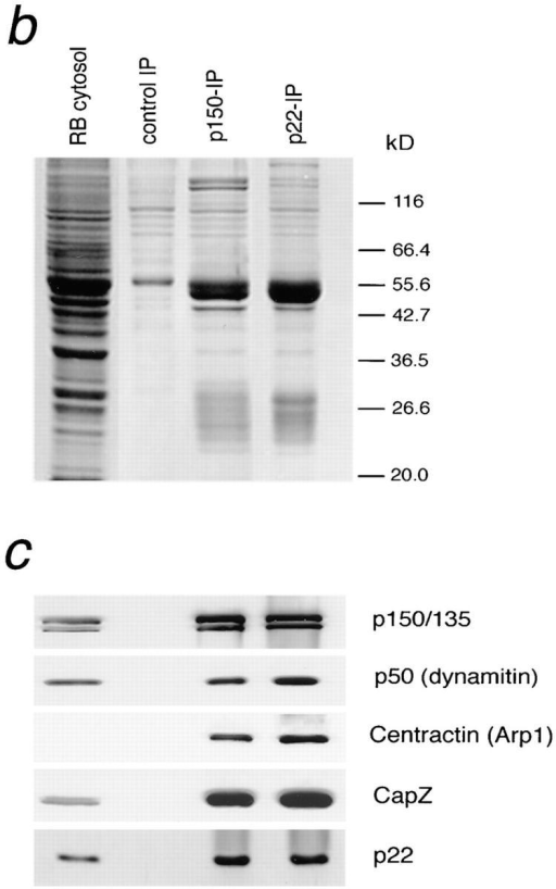 (a) p22 binding to  the DIC column is blocked by  p150Glued. Two identical DIC  affinity columns were constructed. One column was  blocked with excess p150Glued  (fifth through seventh lanes),  whereas the other was  blocked with BSA as a control (second through fourth  lanes). Rat brain cytosol (1  ml) was then loaded (first  lane), and the 1 M NaCl eluates (fourth and seventh lanes)  were analyzed by Western  blotting. Amounts of sample  loaded in load and flow  through lanes are equivalent  (4 μl each), as are wash and  1 M eluate lanes (20 μl each  from a total of 50 μl TCA precipitate). The results show  that, like other dynactin subunits, p22 does not bind to a  DIC column that is preblocked with p150Glued. (b and  c) p22 antibody immunoprecipitates the dynactin complex. Immunoprecipitations  were carried out using antibodies to p150Glued (1.5 ml),  p22 (0.7 ml), and beads only (control) on rat brain cytosol (1 ml each). After thorough washing with RIPA buffer, the precipitates were  eluted with 100 μl 1× Laemmli sample buffer. 1 μl each of control and anti-p150Glued precipitate and 2 μl of anti-p22 precipitate were  loaded and analyzed by SDS-PAGE (b) followed by Western blotting (c). A panel of dynactin subunit was used. The results demonstrate that p22 antibody coprecipitates the same subunits coprecipitated by anti-p150Glued antibody.