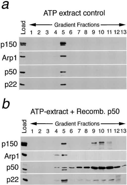 p22 binds to the  p150Glued subunit of dynactin. ATP-extract (500 μl) prepared from five rat brains  was incubated with PBS  alone (control) or with recombinant p50 (dynamitin) and  subjected to linear density sucrose gradient (5–20%) for  18 h at 4°C in a Beckman  SW41.Ti rotor at 32K rpm.  Approximately 0.9-ml fractions were collected, and the  fractions were analyzed by  SDS-PAGE followed by  Western blotting using antibodies to p150Glued, Arp1, p50, and p22. In a, all subunits probed peak exclusively  at fraction 5, corresponding to the 20-S peak. However, incubation of ATP-extract  with recombinant p50 partially disrupts the dynactin complex as indicated by the  presence of p150Glued at fractions 9–11 (b). Interestingly, p22 is also found at the  second peak at fraction 10. Note that the heavy p50 staining in b is due to excess  recombinant p50 used for dynactin disruption. (c) A p150Glued affinity column and  a BSA control column were constructed and loaded with in vitro–translated and  radio-labeled recombinant p22. The columns were extensively washed and eluted  with 1 M NaCl. The loaded material (load), flow-through (F.T.), wash, and the eluate samples were analyzed by SDS-PAGE followed by autoradiography.