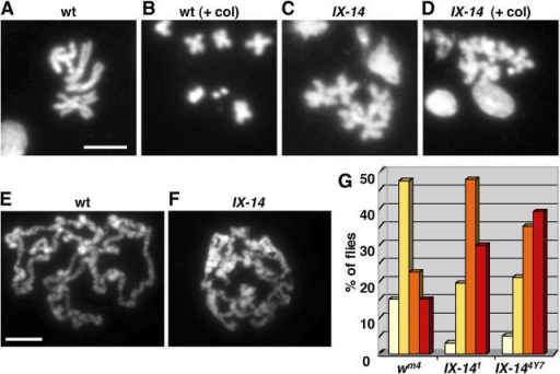 "Chromosome defects in l(3)IX-14. (A–D) Mitotic chromosome spreads from wild-type (wt) and homozygous l(3)IX-14 mutant (IX-14) third instar larval brains. ""+ col"" denotes images from the representative genotype after treatment with colchicine for 90 min. Note that even with colchicine treatment, the IX-14 chromosomes are unable to condense as tightly as the wild-type chromosomes. Bar, 5 μm. (E and F) Polytene chromosome spreads from wild-type and IX-14 homozygous mutant third instar larval salivary glands. Banding and a chromocenter are not as obvious in the mutant chromosomes. Bar, 10 μm. (G) Position effect variegation assay using ""white"" as a reporter gene (wm4). Flies were sorted into categories based on redness of the adult eyes (white bars, 0–25% redness; yellow bars, 26–50% redness; orange bars, 51–75% redness; red bars, 76–100% redness). The distribution of eye color is shown for the original wm4 stock as well as for wm4 stocks containing one copy of each of the two mutant l(3)IX-14 alleles. The majority of wm4;l(3)IX-14 (both alleles) flies grouped toward the red end of the spectrum, implying that the mutant alleles act as suppressors of variegation (enhancing expression of the reporter gene) and, conversely, that the wild-type gene product acts to compact chromatin."