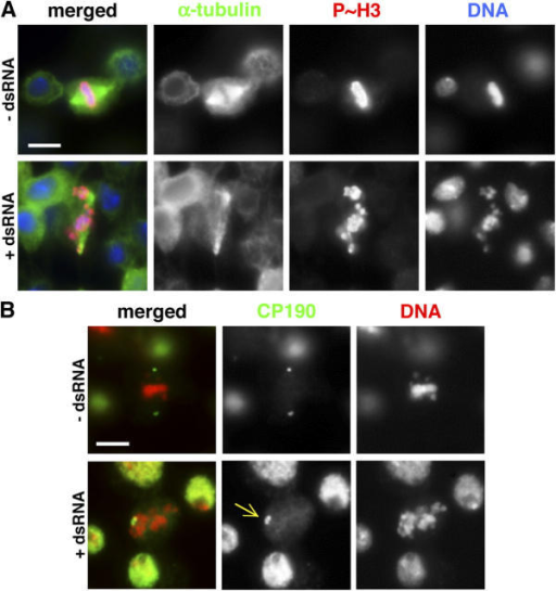 dsRNA-mediated interference of IX-14 in Drosophila S2 cells phenocopies the mutation. (A) Spindles of S2 cells: control (top) and 72 h after dsRNA treatment (bottom). Cells are stained for α-tubulin (green), P~H3 (red), and DAPI (blue). The normal bipolar spindle in the control S2 cell is to be contrasted with the disorganized spindle shown in the treated cell. This is similar to that observed in IX-14 homozygous mutant alleles. Bar, 5 μm. (B) Centrosomes of S2 cells: control (top) and 72 h after dsRNA treatment (bottom). Cells are stained for CP190 (green) and DAPI (red). The treated cells show the centrosome separation defect (arrow) similar to that observed in l(3)IX-14 homozygous mutant alleles. Bar, 5 μm.