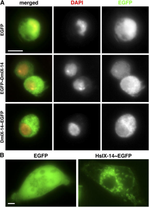 Localization of GFP-tagged IX-14 in Drosophila S2 and HeLa cells. (A) Drosophila S2 cells transiently transfected with constructs expressing EGFP vector only (top) and DmIX-14 tagged at the NH2 (middle) and COOH termini (bottom). EGFP, green; DAPI, red. DmIX-14 tagged with EGFP at either end appears to be concentrated in cytoplasmic foci, in contrast to EGFP alone, which shows diffuse localization throughout the cytoplasm and nucleus. Bar, 5 μm. (B) HeLa cells transiently transfected with constructs expressing EGFP vector only (left) or HsIX-14 tagged at the COOH terminus (right). EGFP alone is localized diffusely throughout both nucleus and cytoplasm, HsIX-14~EGFP is localized to cytoplasmic ring-like structures. Bar, 5 μm.
