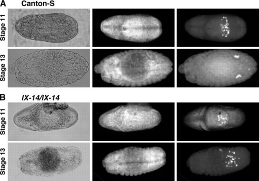 Germ cell migration defects in l(3)IX-14 embryos. All panels are dorsal views of Drosophila embryos. Left panels are phase-contrast images, middle panels show DAPI labeling of DNA, right panels show germ cells detected by Vasa antibody. (A) Wild-type Canton S embryos. (top) Stage 10/11, when germ cells are in the middle of passing through the midgut and migrating dorsally. (bottom) Stage 13, when germ cells form two elongated clusters on either side of the embryo. (B) IX-14 homozygous embryos selected for absence of the Kr-GFP balancer chromosome. (top) Stage 10/11, germ cells appear as in wild-type embryos. (bottom) Stage 13, when the abnormal germ cell migration phenotype is apparent. The germ cells fail to migrate and coalesce into gonads.