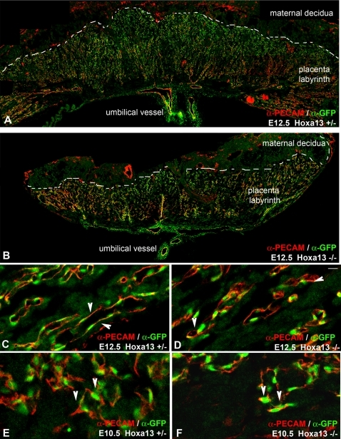 HOXA13 is expressed in the placental labyrinth vascular endothelia.(A, B) Analysis of HOXA13 expression (green) in heterozygous control and homozygous mutant placentas at E12.5 reveals extensive expression throughout the vascular labyrinth. (C) HOXA13 is co-expressed with PECAM-1 in the labyrinth endothelia, which exhibit an elongated morphology in heterozygous controls (arrowheads). (D) E12.5 homozygous mutant labyrinth endothelia also express HOXA13 (green signal) and PECAM-1 (red signal), but maintain a rounded morphology (arrowheads). (E, F) Analysis of labyrinth vessels at E10.5 reveals co-localization of HOXA13 (green signal) and PECAM-1 (red signal) to the undifferentiated endothelia (arrowheads), which do not exhibit an elongated vascular morphology. Bar is 10 µm for (C–F).
