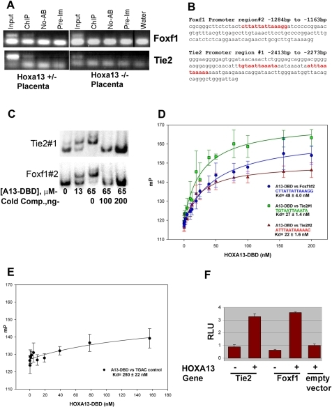 HOXA13 binds to gene-regulatory regions in Tie2 and Foxf1 to facilitate gene expression.(A). Left panel: Chromatin immunoprecipitation (ChIP) of heterozygous control placental chromatin using a HOXA13 antibody identified DNA sequences present in the Tie2 and Foxf1 promoter regions and confirms that HOXA13 associates with these sequences in vivo. Right panel: Parallel assays using Hoxa13 homozygous mutant placentas failed to enrich for the same DNA regions, suggesting that HOXA13's DNA binding function, which is absent in the homozygous mutant protein, is necessary for in vivo association at the Tie2 and Foxf1 loci. Input indicates positive control confirming the presence of the Tie2 and Foxf1 DNA elements in both heterozygous and homozygous mutant chromatin samples. ChIP = + HOXA13 antibody; No-AB = no antibody negative control; Pre-Im = IgG control rabbit pre-immune sera; Water = no DNA PCR control (B). Sequence analysis revealed HOXA13 binding sites (red text) in the ChIP-positive PCR amplification products for both Foxf1 and Tie2. (C) EMSA analysis of the ChIP-positive PCR amplification products confirms HOXA13 can bind these sites in a concentration-dependent manner. A13-DBD = HOXA13 DNA binding domain peptide; Cold Comp.  = the Tie2 or Foxf1 binding sites lacking radioactive labeling. (D) The HOXA13 DNA binding domain binds the DNA sequences present in the ChIP-positive region with high affinity exhibiting a Kd of 48±4 nM for the Foxf1 region and 27±1.4 nM and 22±1.6 nM for the two sequences present in Tie2. Error bars denote the standard error for the averaged millipolarization values at each HOXA13-DBD concentration. The DNA sequences of the Tie2 or Foxf1 promoter regions used in the assay are denoted by the color text. (E) Conversion of the Tie2 or Foxf1 binding sites to the sequence TGAC ablates the affinity of the HOXA13 DNA binding domain for these gene-specific promoter sequences. Error bars denote the standard error for the averaged millipolarization values at each HOXA13-DBD concentration. (F) In vitro assessment of the 140 bp Tie2 and 121 bp Foxf1 ChIP fragments confirms that HOXA13 can use these minimal sites to direct gene expression, confirming their capacity to function as gene-regulatory elements. Values represent average detected luciferase activity after normalization for transfection with a Renilla luciferase reporter±standard error.