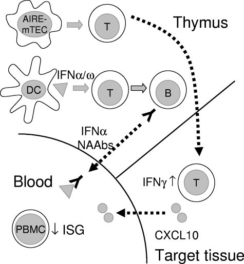 Schematic illustration of thymic and peripheral events   Open-i