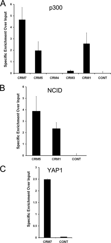 Enhancer associated co-activators occupy hes1 CRM5 and CRM7 in C2C12 cells. ChIP assays were performed using antibodies against p300 (A), NICD (B), and YAP or a nonspecific control (anti-GFP) (C). Input consists of DNA extracted from sonicated nuclei. Precipitated DNA was PCR-amplified using primers spanning the indicated regions. Results are expressed as specific enrichment over input. To do this, the signal for each PCR quantified, divided by the input and the background value of an IgG isotope control, was then subtracted.